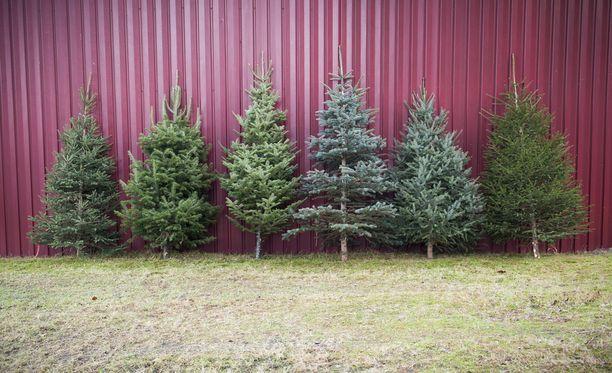 Joulukuusiakin on montaa eri lajia. Juha Ruuska sanoo, että jalokuuset pitävät neulasensa hiukan paremmin kuin perinteiset metsäkuuset.