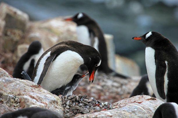 Miinakentät eivät haittaa pingviinejä Falklandinaarilla.