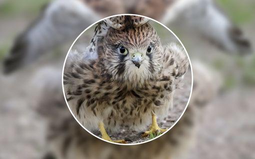 55 vuotta lintuja harrastanut Lassi ikuisti upean kuvan: Onko tuulihaukalla jäniksen korvat?