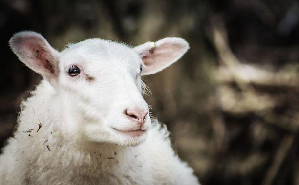 Yli 15 000 suomalaista halusi tänä kesänä lammaspaimeneksi. Jos paikkaa ei irronnut, voi lampaiden kanssa puuhailla maatilamatkailuyrityksissä.
