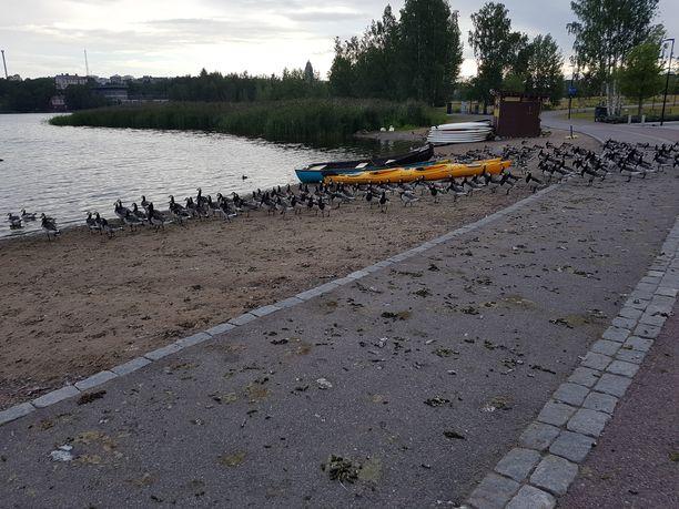 Valkoposkihanhien jätökset ovat tuttu kesäinen näky Helsingin ja Espoon puistoissa. Kuva Töölönlahden eteläpäässä olevasta Töölönlahden puistosta.