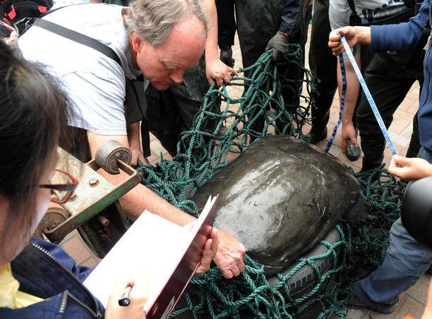 Nyt menehtynyttä kilpikonnanaarasta mitattiin Suzhoun eläintarhassa Kiinassa vuonna 2015.