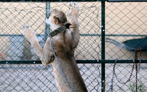 Mohammed Turkin mukaan villieläinten elämä on parempaa vangittuna kuin luonnossa.
