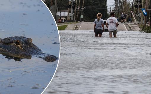 Alligaattori pääsi eläkeläisparin talolle Ida-myrskyn tulvissa: kerrotaan repineen miehen käden irti