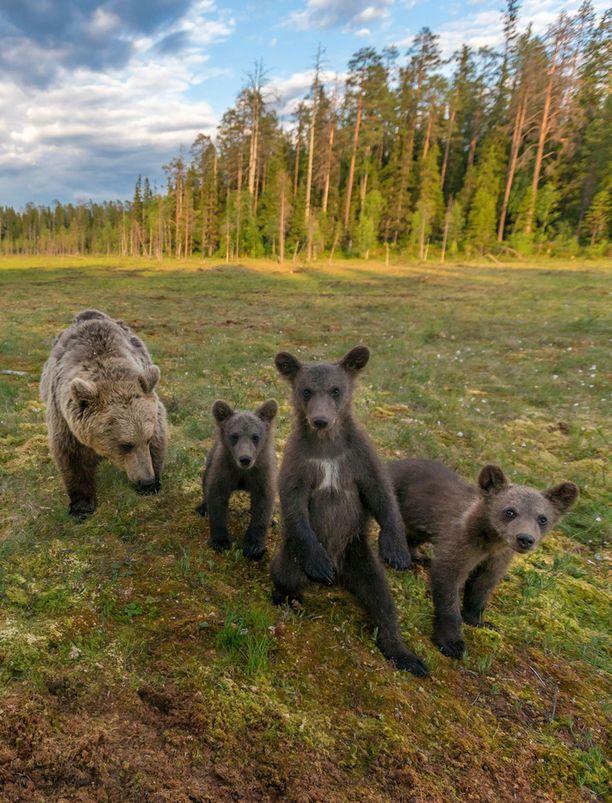 Karhuja kuvatessaan Kimmo Ohtonen oppi, että ne ovat omanlaisiaan yksilöitä. Halla-naaras on huolehtiva emo, joka antaa tarpeen tullen lähtöpassit isollekin urokselle.