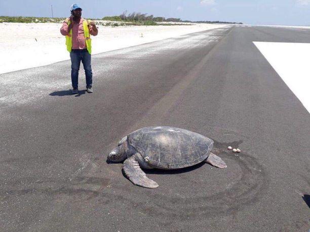 Kilpikonna palasi vaistonvaraisesti todennäköisesti samalle paikalle, johon se on aina muninut. Nyt ranta oli peitetty asvaltilla.