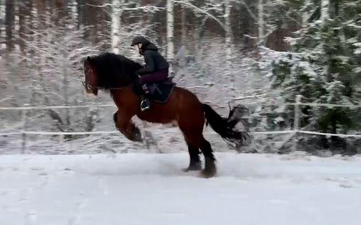 Video: Topi-hevonen säikähti omaa pieruaan ja heitti Vilman selästä