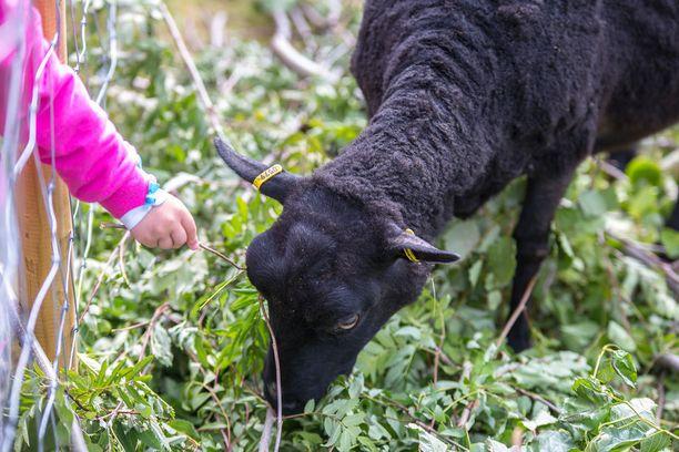 Omia ruokia ei puistolampaille saa tuoda. Niiden aitauksen vieressä on kuitenkin lehtipuiden oksia, joita saa lampaille on lupa tarjota.
