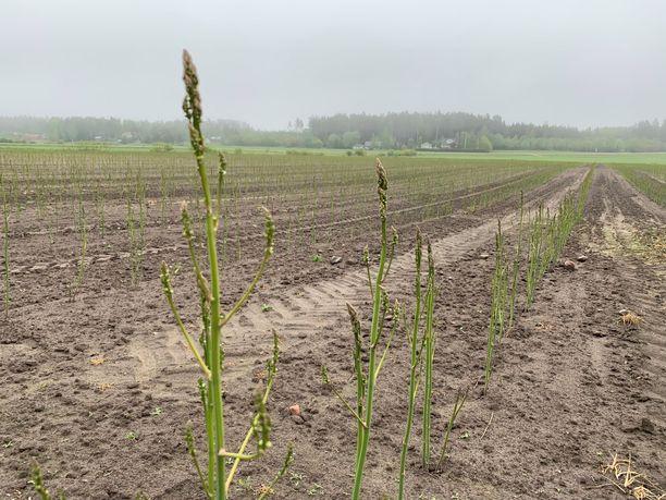 Tällä pellolla kasvaa viime vuonna istutettuja parsantaimia. Ne saavat vahvistua vielä tämän kesän, ennen kuin pellolta aletaan korjata satoa.