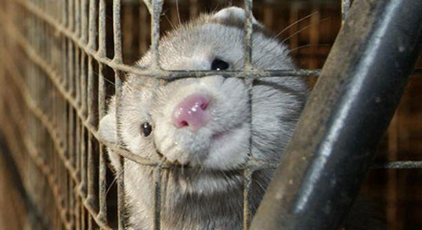 Norjalaiseläinlääkärien mukaan turkiseläimet eivät voi tarhoilla hyvin.