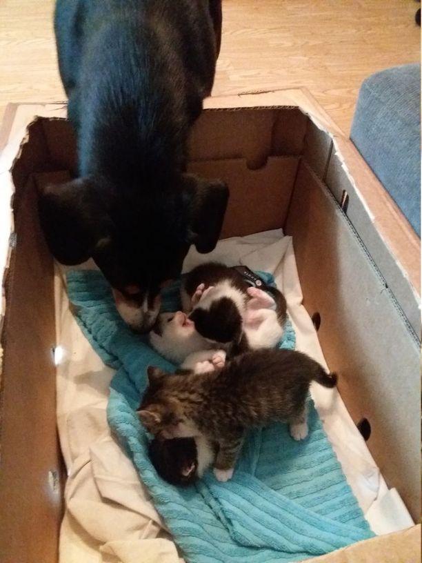 Kissanpennut totuttelevat kotioloihin Mea Uskin luona, missä Hirra pääsee hoitamaan pentuja aina halutessaan.