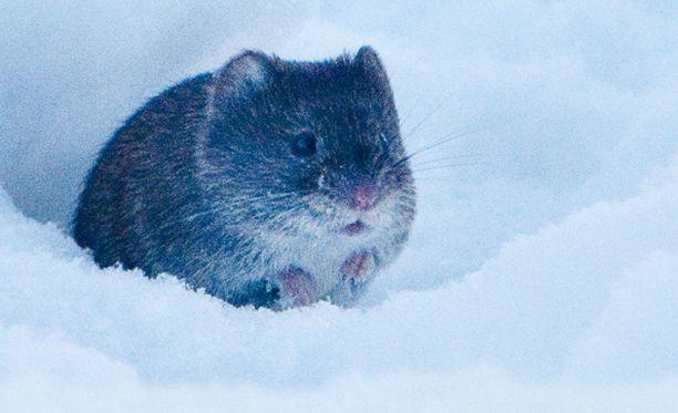 Hiirtä ja myyrää voi olla vaikea erottaa toisistaan. Nyrkkisääntö on, että myyrällä on lyhyempi häntä ja pienemmät korvat kuin hiirellä.