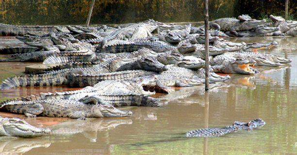 Vietnamissa olisi kysyntää Crocodile Dundeelle.