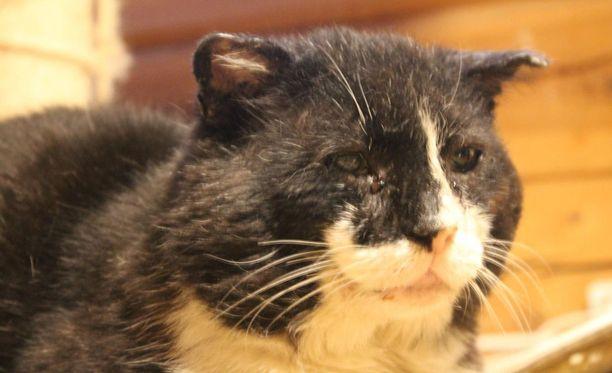 Otto-kissa sai väliaikaisen kodin kissojen sijaiskodista.
