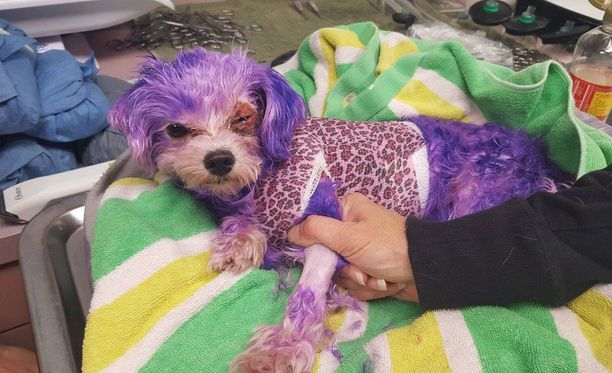 Violet-koira sai vakavia vammoja, kun sen omistajat värjäsivät sen turkin ihmisille tarkoitetulla väriaineella.