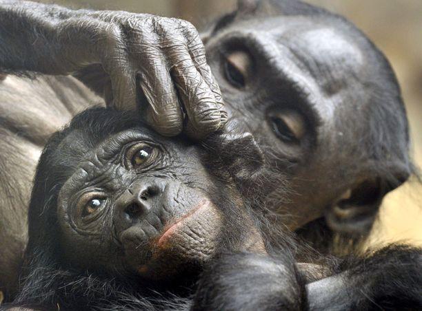 Bonobot purkavat riitatilanteita seksillä.