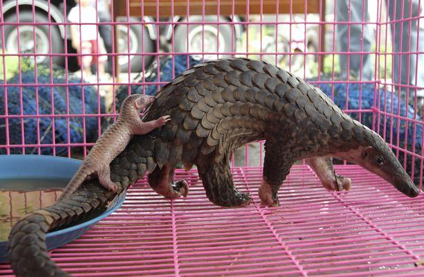 Salakuljettajilta takavarikoitu uhanalainen muurahaiskäpy poikasineen Thaimaassa. Kuva otettu huhtikuussa 2011.