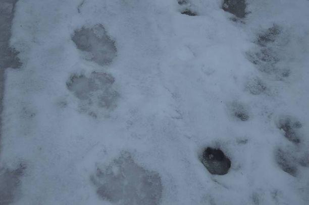 Kuvassa Rauli Kempin joulun jälkeen kuvaamia todennäköisiä karhun jälkiä Kemppien pihalla.