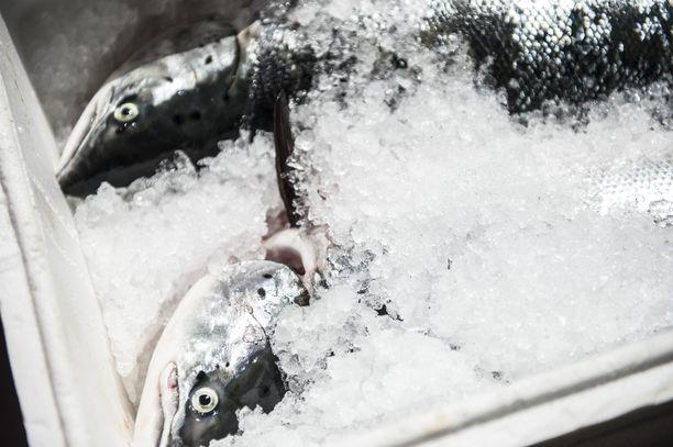 Itämeren pääaltaan ja Pohjanlahden lohikiintiö pysyy vuonna 2019 ennallaan. Kuvituskuva.