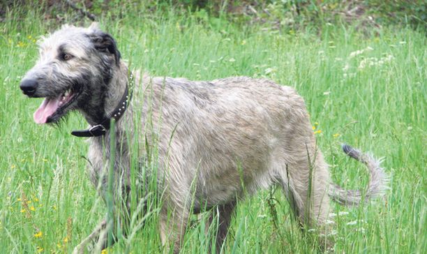 Irlanninsusikoira Lyyli oli yksi lemmikeistä, joiden elämä päättyi Finneagle-laivalla.