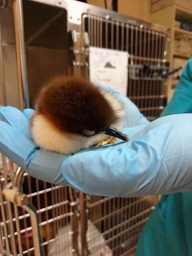 Tässä otoksessa lintu on vielä hengissä ja hoitajan seurannassa.