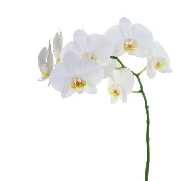 Naisista suurin osa ilmoitti orkidean suosikkikasvikseen.