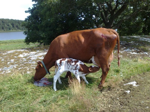 Maito on parasta ravintoa vasikalle.