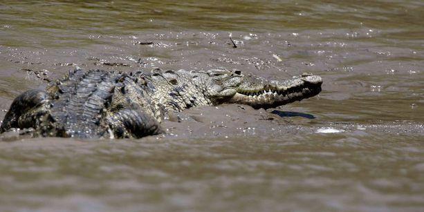 Varvastossut säikyttivät krokotiilin Australiassa. Tämä krokotiili väijyy Costa Ricassa.