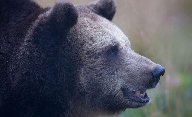 Maa- ja metsätalousministeriö esittää, että karhun kannanhoidollinen metsästys sallittaisiin koko Suomessa.