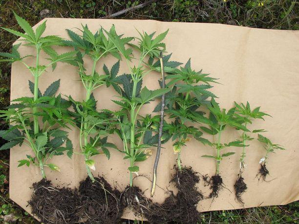 Osa kasveista oli istutettu suoraan maahan.