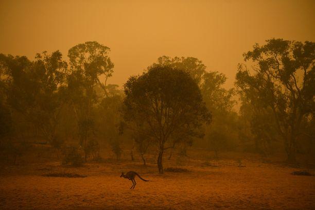 Kenguru pakeni maastopaloja savusumussa Canberrassa sunnuntaina.