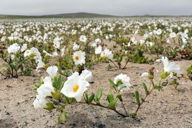 Aavikolla kasvaa yli 200 kasvilajia.