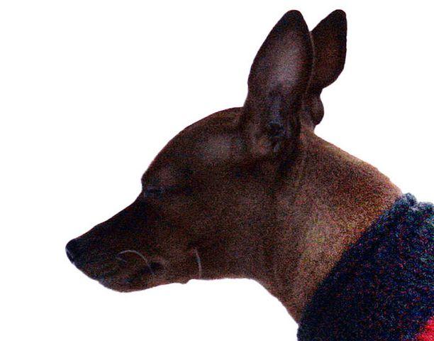 Kääpiöpinserin ohut karva ei aina riitä lämmittämään Suomen talvessa. Kuvan koira ei liity tapaukseen.