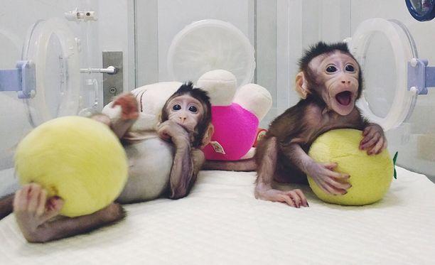Makakien onnistunut kloonaus tuo ihmisen kopioimisen askelen lähemmäs.