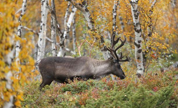 Hirvieläinten näivettymistauti voisi Suomeen levitessään tarttua muun muassa poroihin.