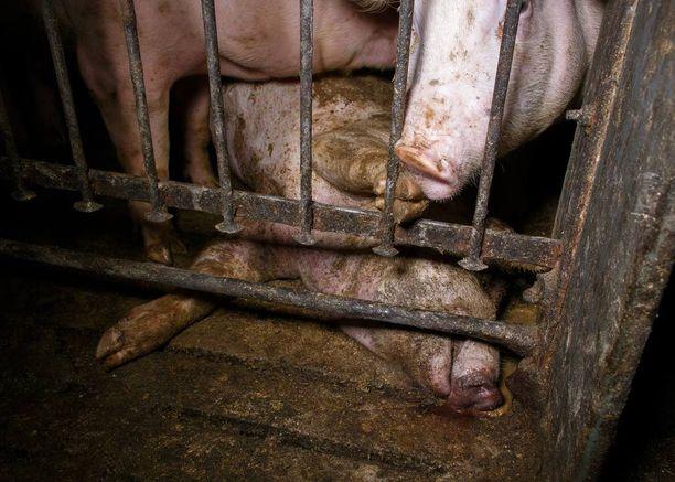 Osassa navetoista lehmät ovat liian ahtaissa tiloissa ja likaisia.
