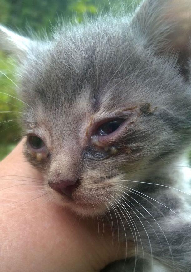 Isosta, sisäsiittosesta kissapopulaatiosta peräisin olevaa kissanpentua hoidettiin kuukausia terveysongelmien takia. Pentu tervehtyi ja kuuluu kodin saaneisiin onnekkaisiin.