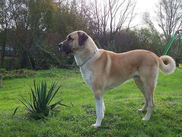 Anatoliankoira on laumanvartijakoira.