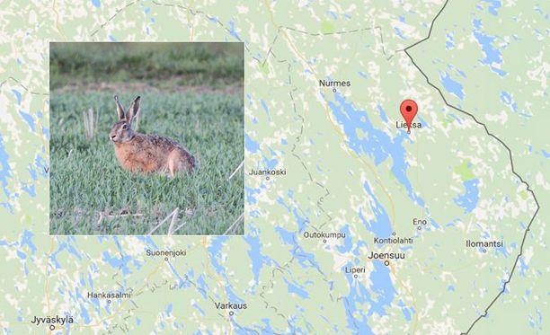 Jänisjahti päättyi ikävästi keskiviikkona Lieksassa.