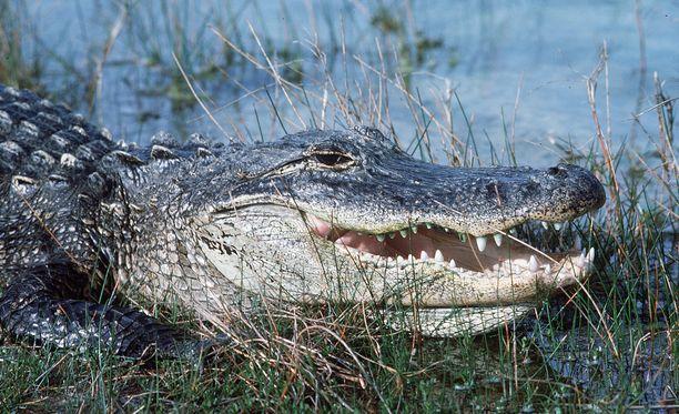2,4 metriä pitkä alligaattori oli aluksi tavoitellut naisen koiraa. Kuvituskuva.