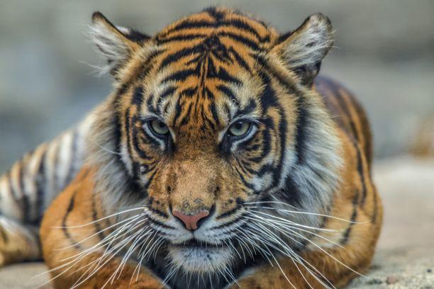 Kaksi sumatrantiikeriä karkasi eläintarhan aitauksesta. Kuvan tiikeri ei liity uutiseen.