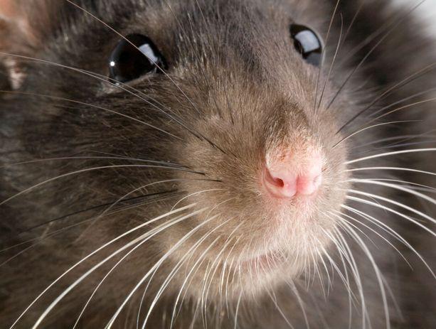 Esimerkiksi rotat voivat kantaa Yersinia pestis -bakteeria. Kuvituskuva.