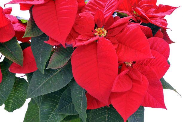 Koska joulutähti janoaa valoa, laita se ikkunalaudalle tai ikkunapöydälle, mutta pidä huoli, ettei kukka saa vetoa.