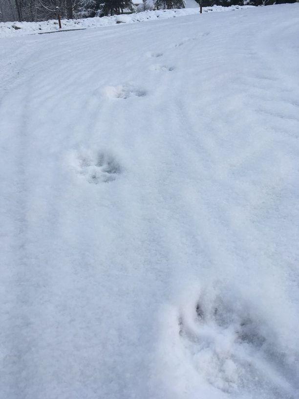 Perheenisän mukaan susi jätti nämä jäljet aivan hänen kotinsa lähelle.