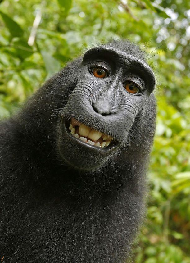 Taistelu tämän kuvan tekijän oikeuksista on edelleen kesken. Kuuluisa selfie syntyi kun yksi apinoista katseli kameran linssistä heijastuvaa kuvaansa ja painoi samalla laukaisunappia.