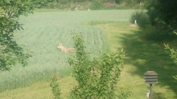 Susi vieraili pihapiirissä Kokemäellä aamupäivällä torstaina.