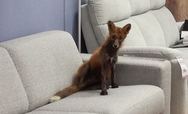 Topi Sukarin mukaan ketun valitsema sohva on herättänyt uteliaisuutta Lapin pääkaupungissa.