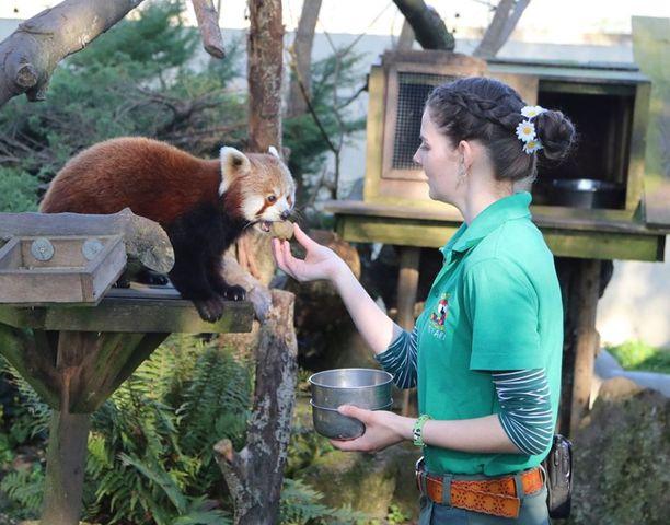 Sarah-Jane Jelbart syöttää kultapanda Scartelia.