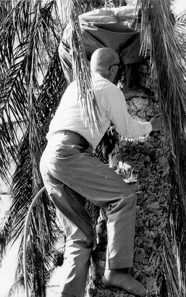 PALMUSSA Urho Kekkonen näytti 65-vuotiaana Tunisiassa valtioveirailun yhteydessä, ettei kunnossa ole moittimista