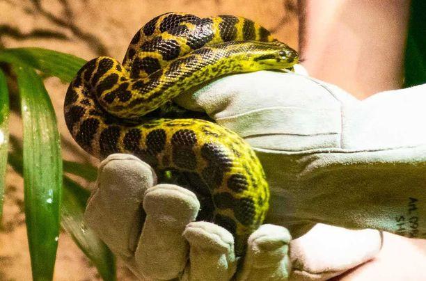 Kadoksissa oleva käärme on väritykseltään keltamusta. Poikanen on ohut, noin miehen keskisormen paksuinen ja noin metrin mittainen.